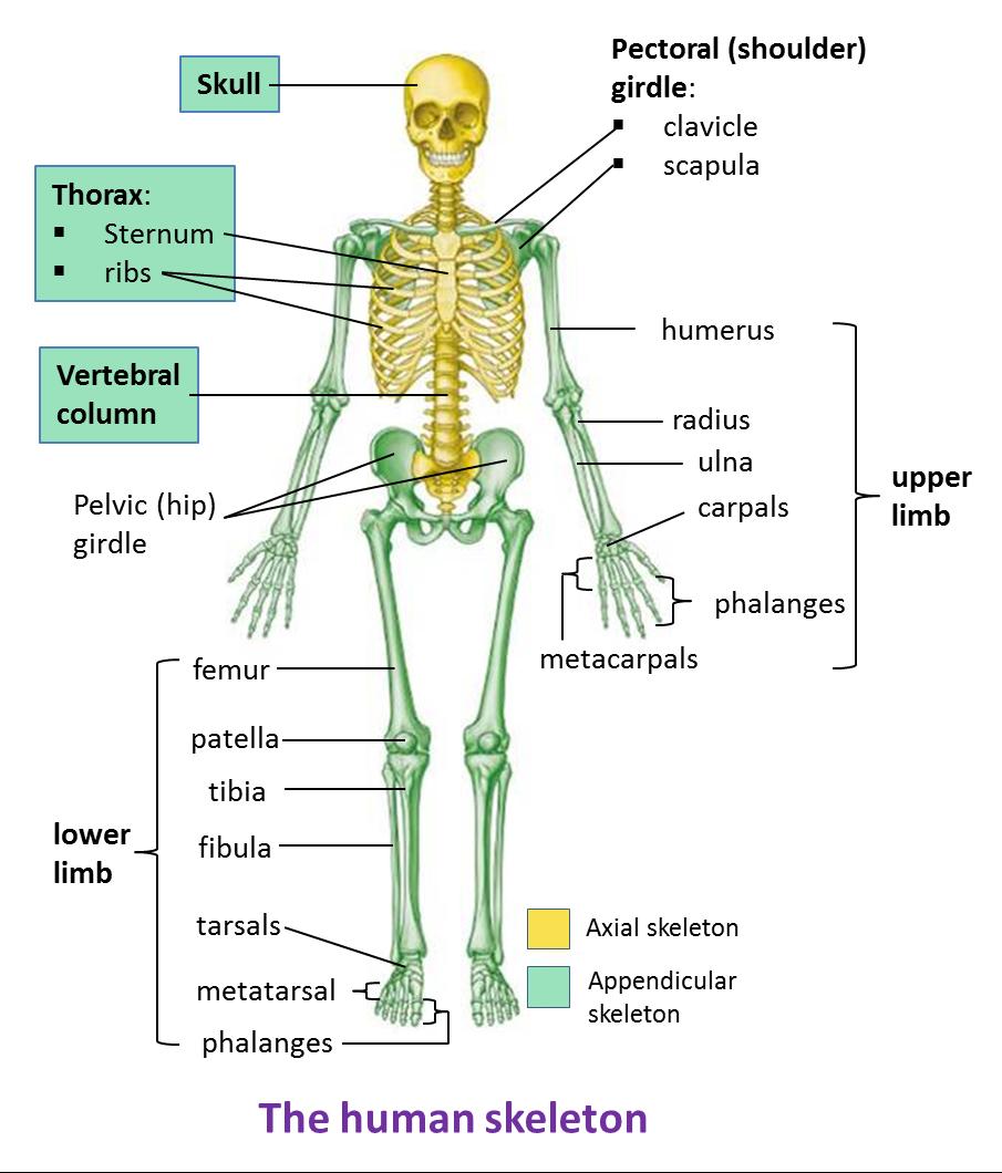 The Human Skeleton Spm Biology Form 4form 5 Revision Notes