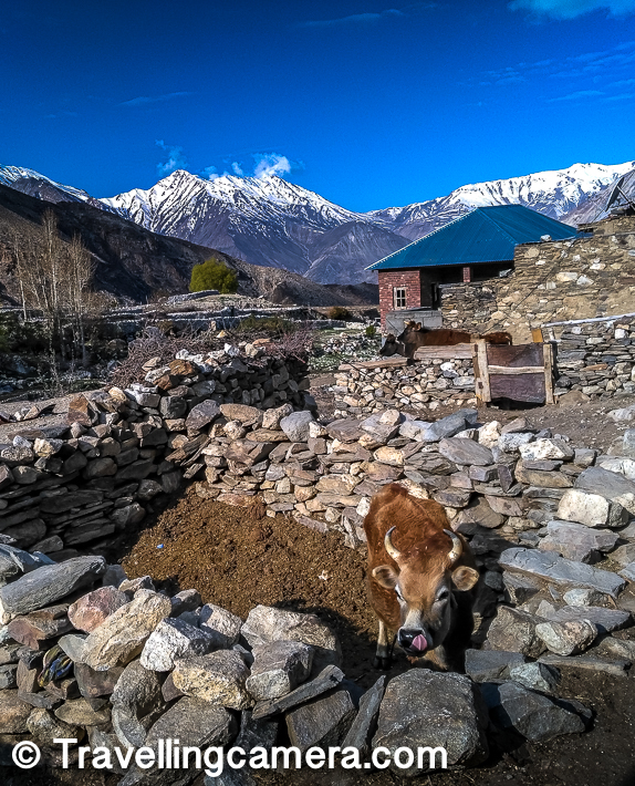 A cow photograph can be very auspicious for this blogpost so I thought of including this one here :).     Related Post - Dhankar to Kalpa - Back journey from Spiti to Kinnaur region of Himachal Pradesh