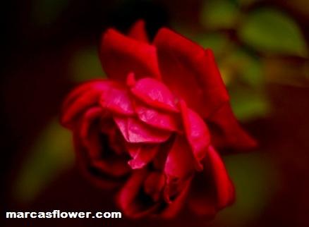Bunga yangsatu dianggap memiliki sejuta makna diberbagai belahan dunia Misteri Mawar Merah Dalam Kehidupan