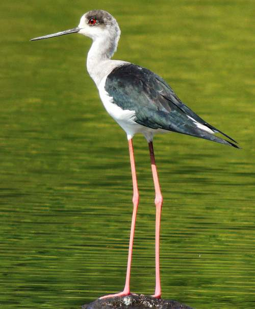 Indian birds - Picture of Black-winged stilt - Himantopus himantopus