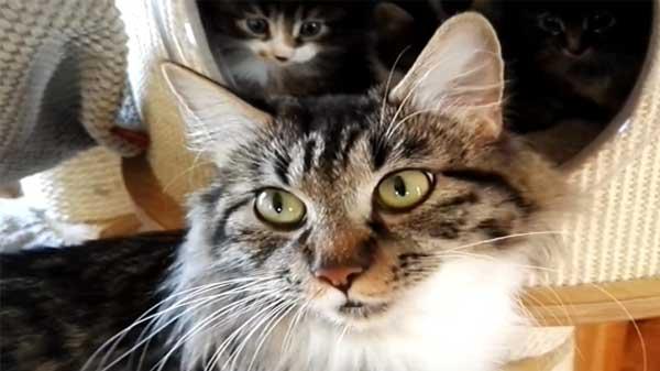 Kunilian Bobtail, cat, pets