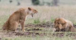Λέαινα μαλώνει λιοντάρι και αυτό κρύβεται πίσω από την πατούσα του  - ΕΙΚΟΝΕΣ