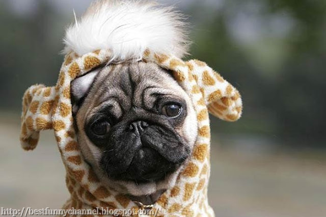 Funny dog in costumes.