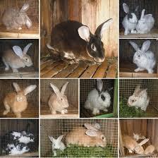 penggemukan kelinci