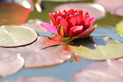 Red Lotus Flower Photo