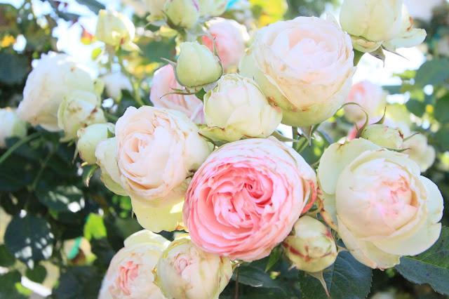 Eden Rose
