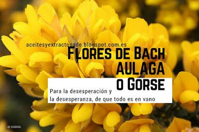 La esencia floral Gorse para desesperanza y calmar la desesperación