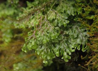 filmy fern, family Hymenophyllaceae