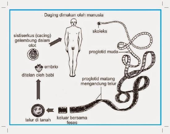 Filum Platyhelminthes Struktur Tubuh Sistem Reproduksi