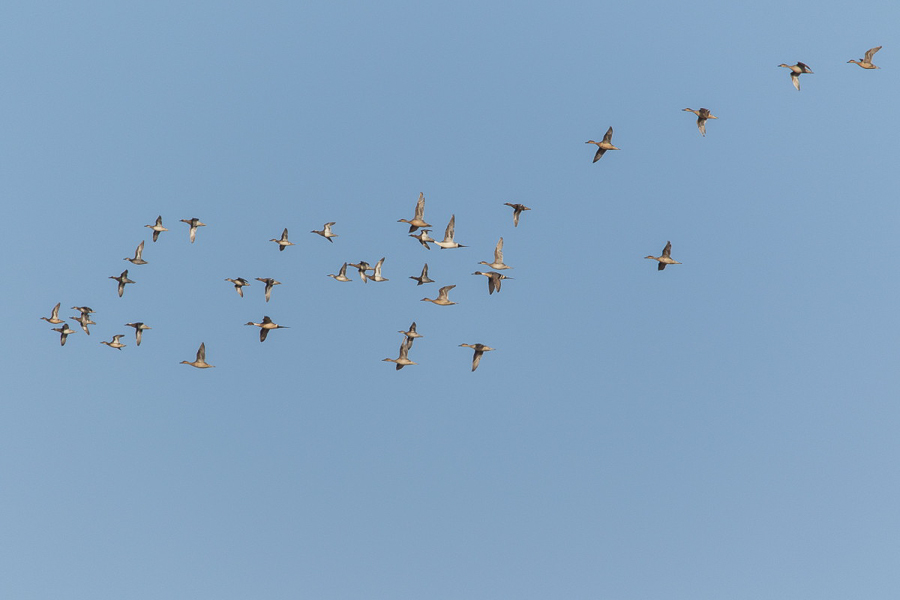 Duck flock including Northern Pintail
