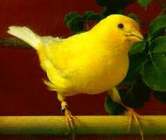 Burung Kenari Waterslager -  Solusi Penangkaran Burung Kenari - Mengenal Burung Kenari Waterslager - Kenari Pelagu Atau Song Canary