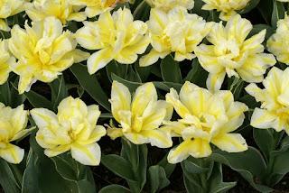 Tulipe double hâtive Monte beau - Tulipa Monte beau - Tulipe Monte beau