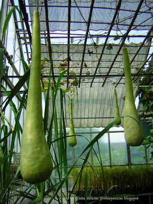 Acocotes verdes