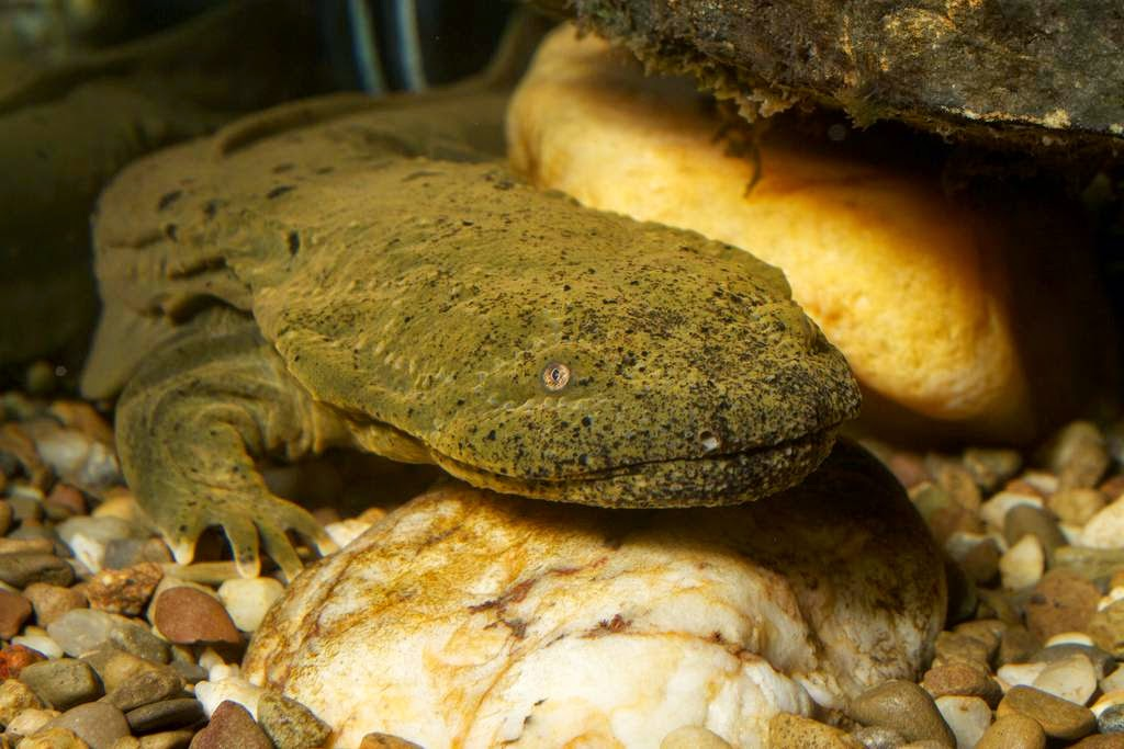 how to catch a hellbender salamander