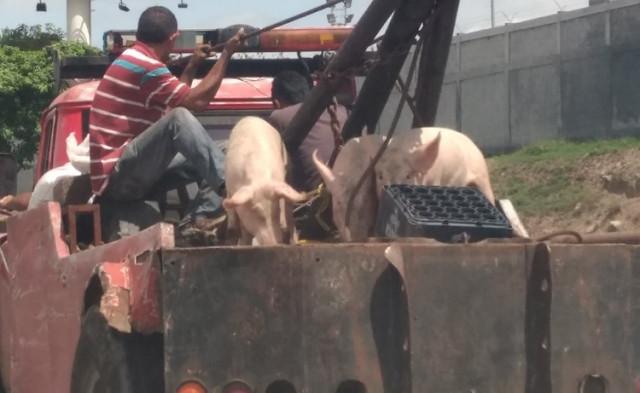 Grúas trasladando cochinos vivos por Caracas