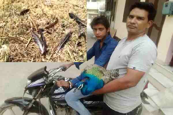 hathin-reedka-village-news-4-dozen-peacock-death-hindi-news