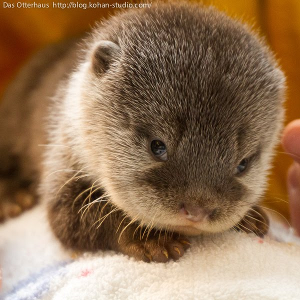 Cute Baby Sea Otter