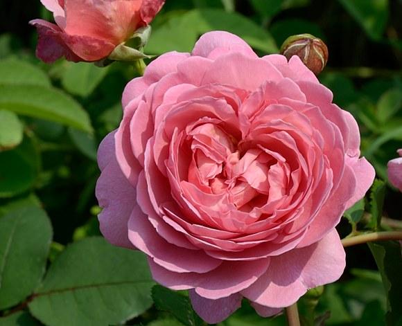 Princess Alexandra of Kent сорт розы фото