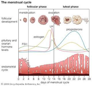 Tahap-tahap siklus menstruasi