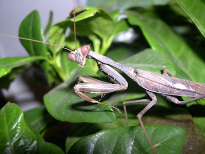 3-D vision in the praying mantis flusters evolutionists and affirms special creation
