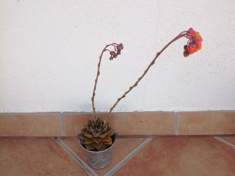 Echeveria quasi in fiore
