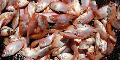 Memanen Ikan Nila Dengan Tepat