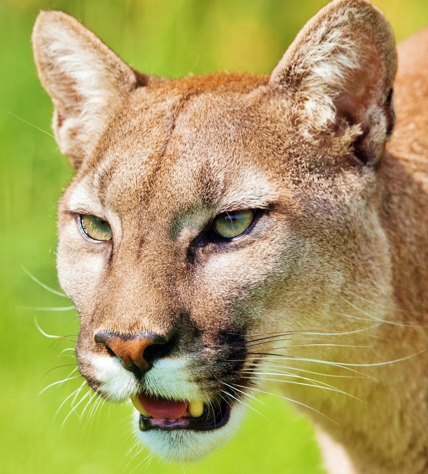 Head shot of a puma.