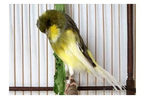 Burung Kenari Mengalami Serak Suara? Ini Dia Tips Mudah Cara Mengatasinya