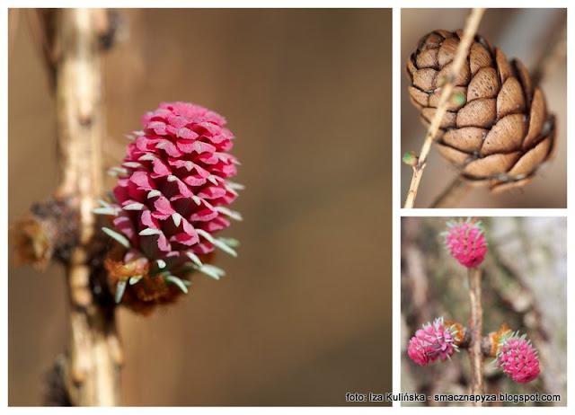 kwiaty meskie, modrzew europejski, drzewo iglaste, szyszki, rozowe, rozowy kwiatek, wiosna, las