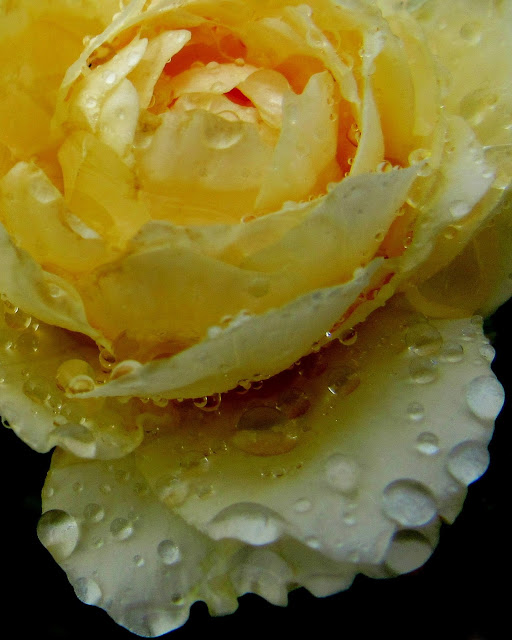 Raindrops on Roses Photo