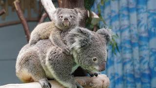 Μωρό κοάλα