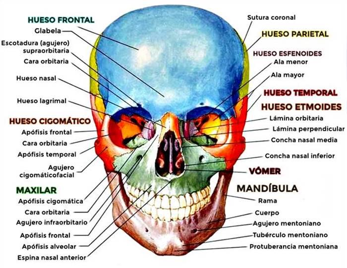Partes y huesos del cráneo