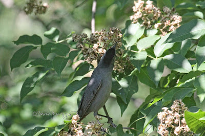 A catbird in a tree in Central Park. View Four.