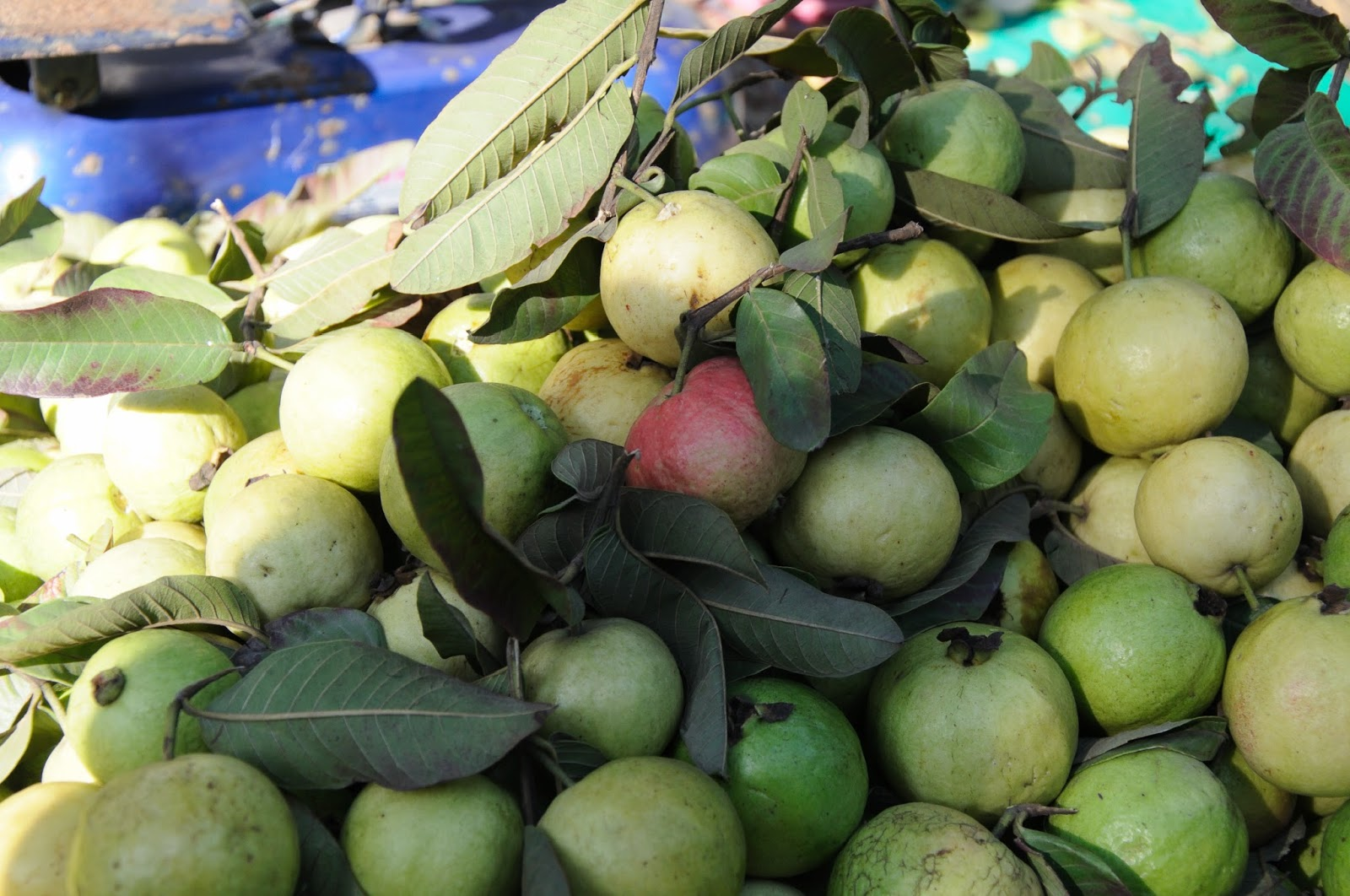There Are So Many Varieties Of Guavas In India That Every City Can Surprise  You With