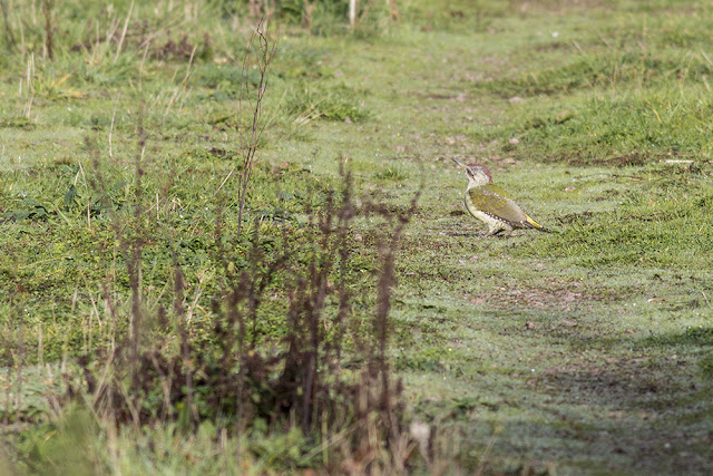 Young Green Woodpecker