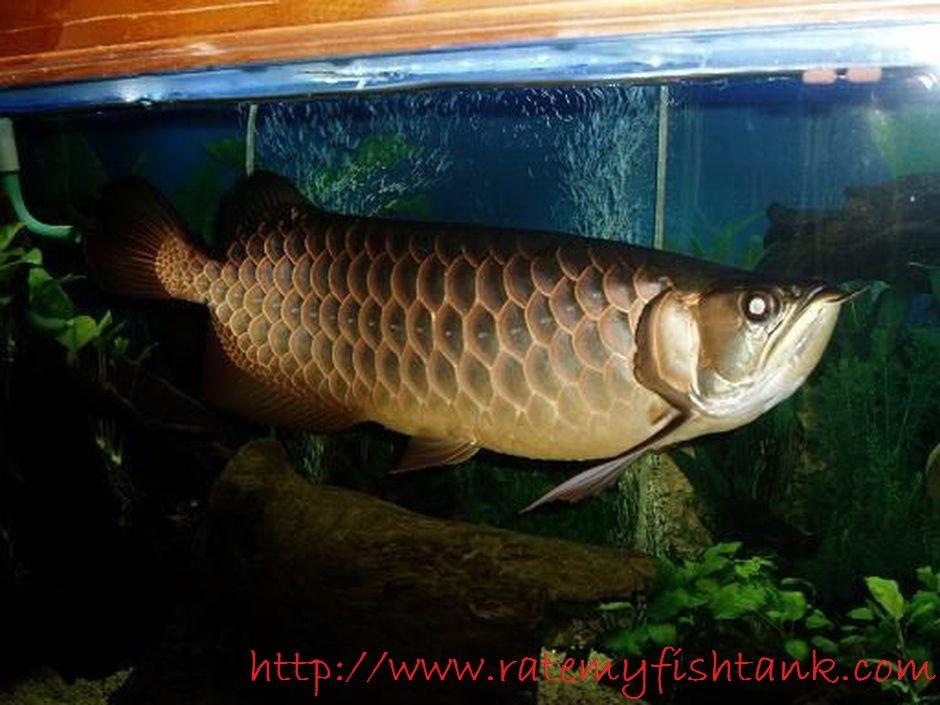 Gambar Dan Foto Harga Ikan Arwana Irian, Profilnya