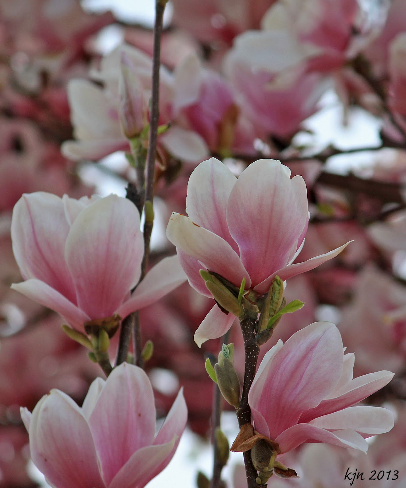 The Outskirts of Suburbia: Sweet Magnolia Blossoms