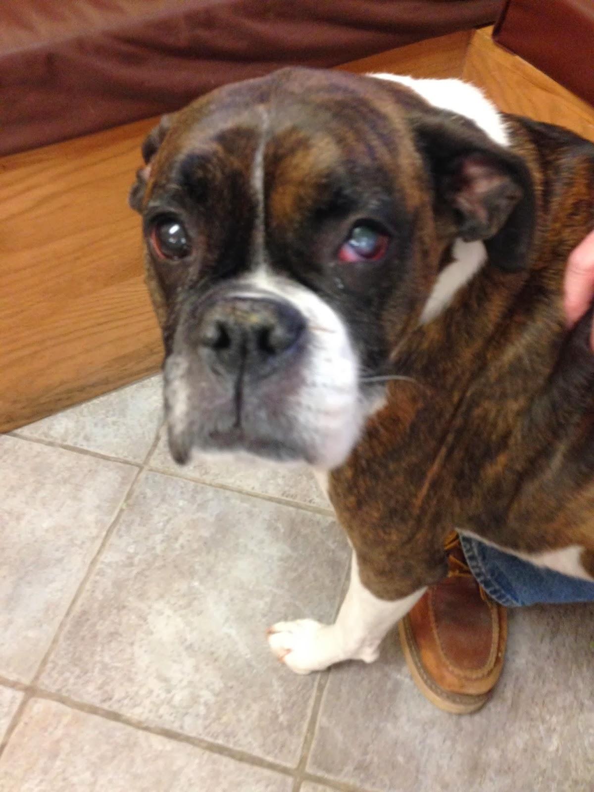Dog Corneal Ulcer Getting Worse