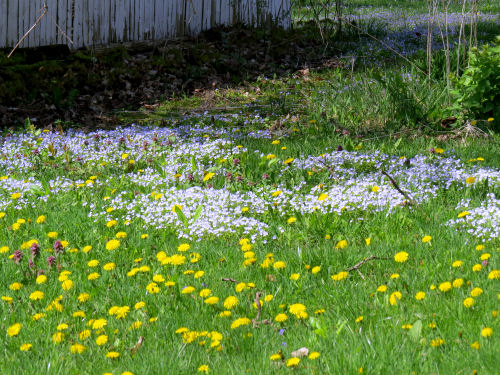 dandelions and speedwell