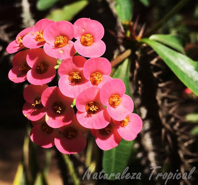 Flores rojas-anaranjadas de una Corona de Cristo o Corona de Espinas, Euphorbia milii