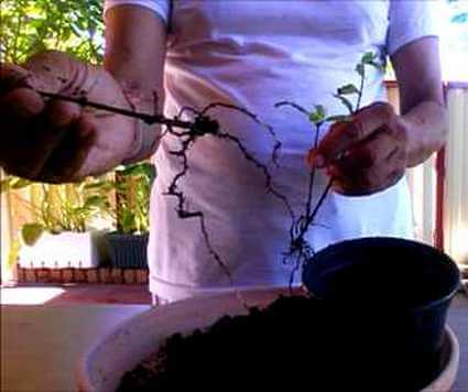 The Formation of Roots in the Pomegranate Cuttings