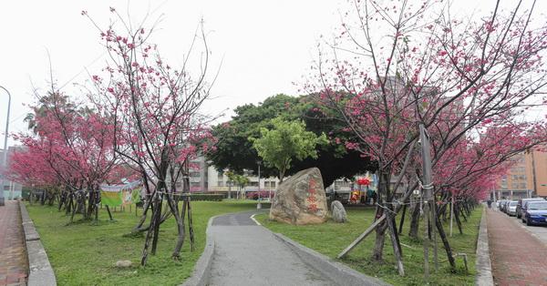 《台中.北區》2018崇德榕園-公園周圍108棵八重櫻,包圍著壯觀的百年老榕樹