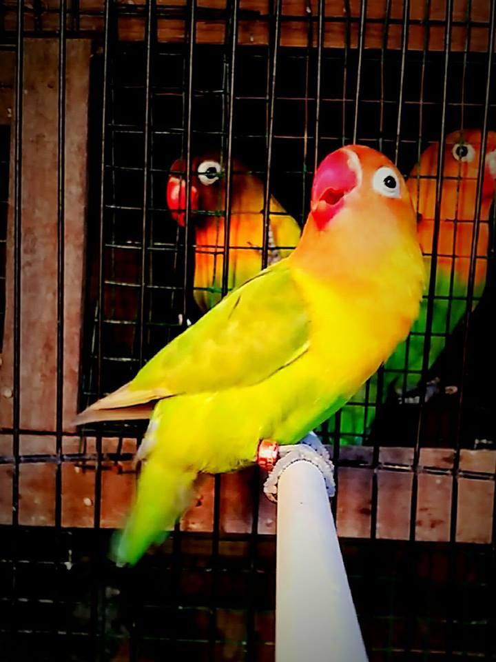 Lovebird Jantan Betina : lovebird, jantan, betina, Setting, Lovebird, Jantan, Untuk, Lomba, Gacor