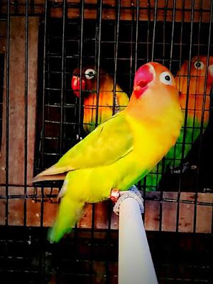 Lovebird jantan ngekek panjang untuk lomba