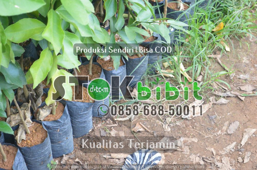 Budidaya Jeruk Dekopon | Bibit jeruk Dekopon      Lengkap     Grosir