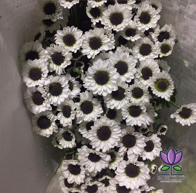 Hoa cuc mat meo M288