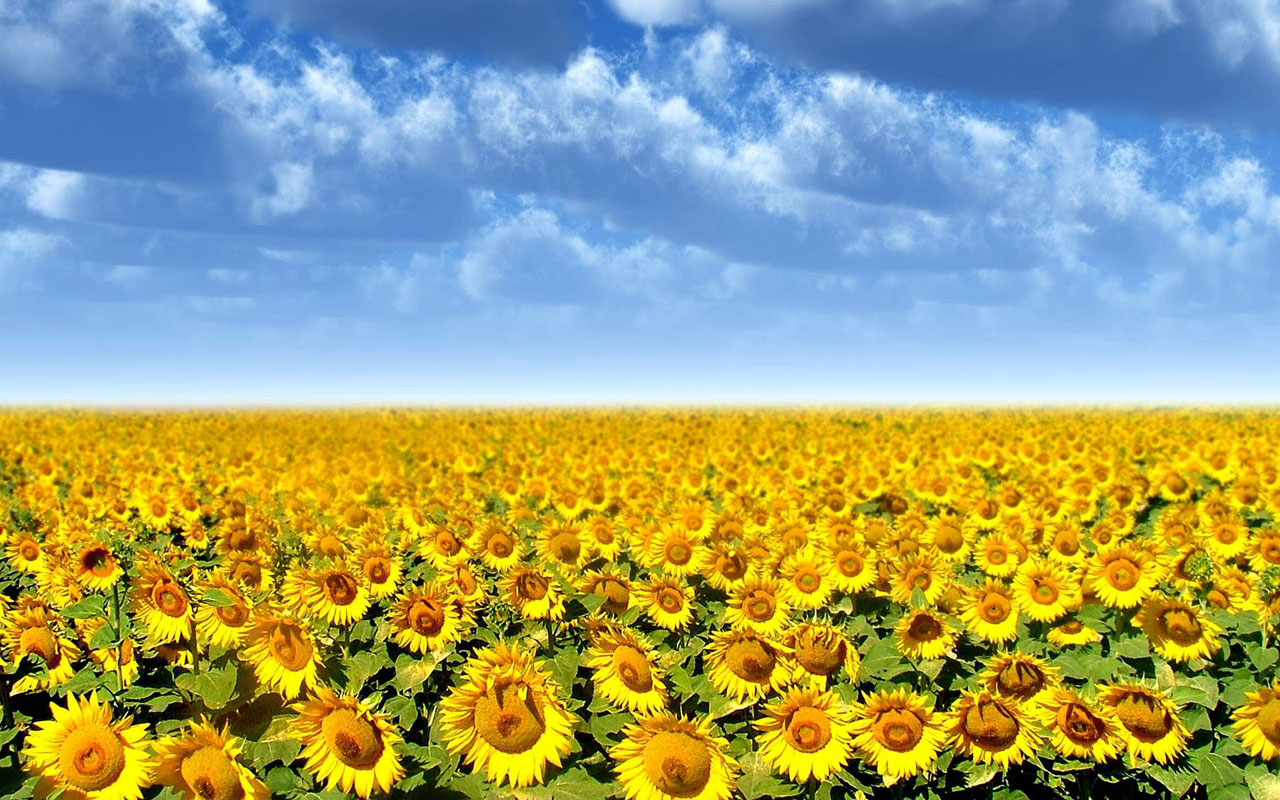 Field Of Sunflowers Wallpaper: Wallpapers: Sunflowers Desktop Wallpapers