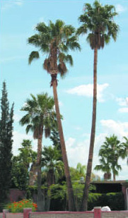 Mexican Fan Palms Washingtonia Robusta Have Many Fine Attributes Including Salt Resistance And Fast Rate Of Growth The Cold Hardy Palm Has A