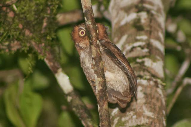 Salah satu burung hantu endemik Indonesia ini dikenal di dunia internasional dengan nama  Mengenal Celepuk Flores