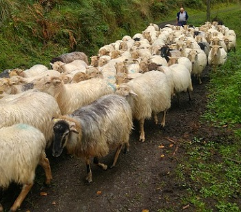Sheep Following Each Other in a Straight Line